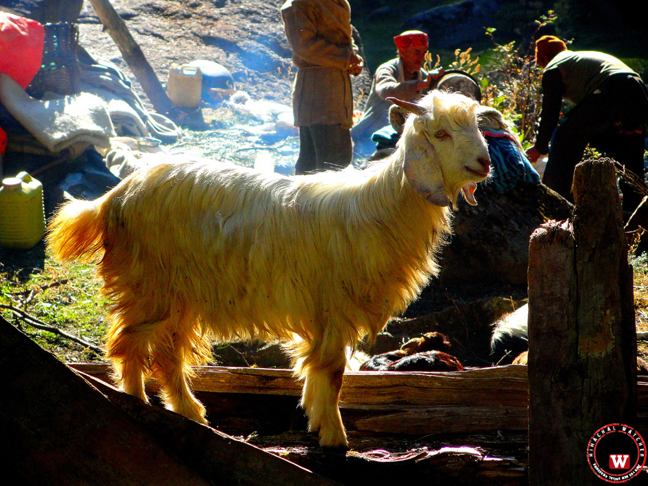 goat-churdhar-chopal