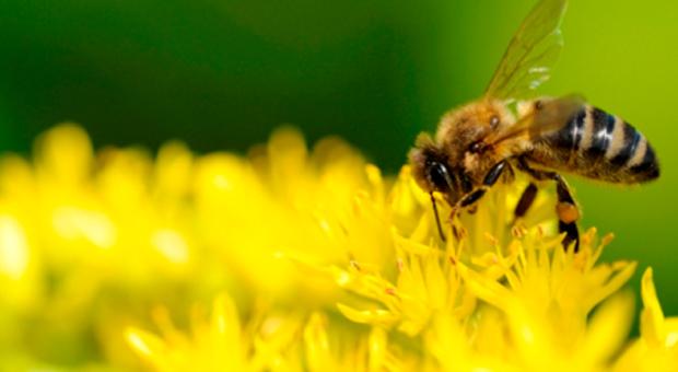 Natural pollinators
