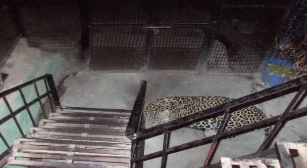 himachali-leopard