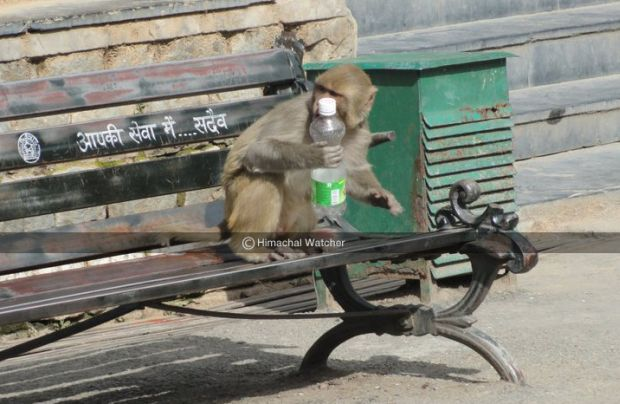 monkeys in shimla