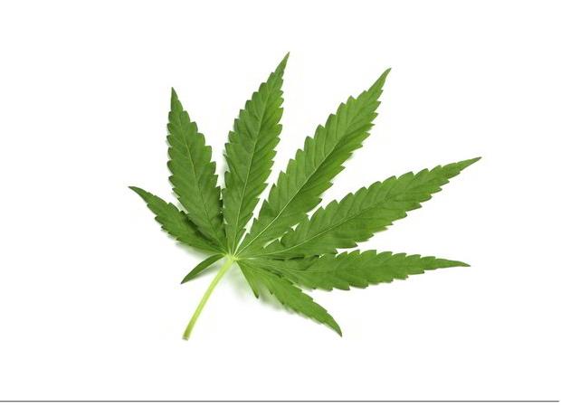 Marijuana-Cannabis-himalayas