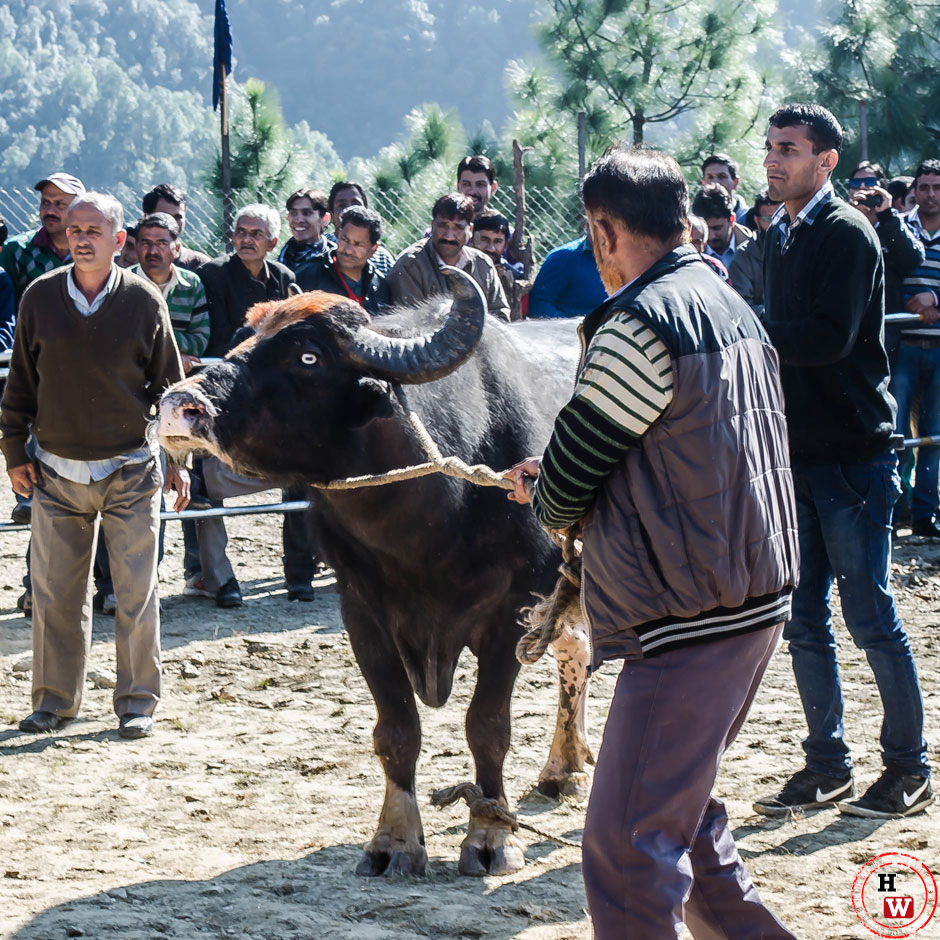 bull-fight-himachal