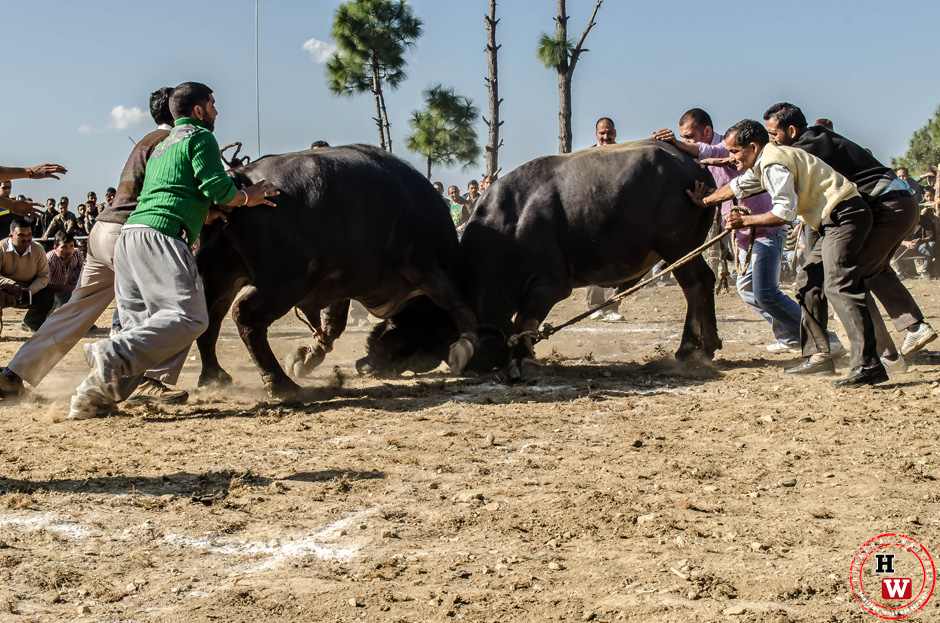bull-fight-shimla