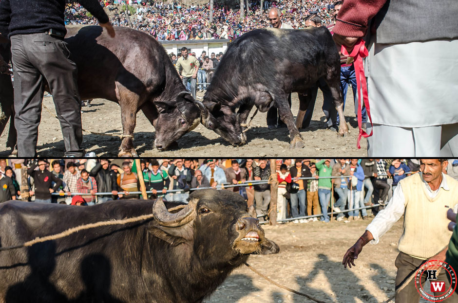 bullfight-shimla-2