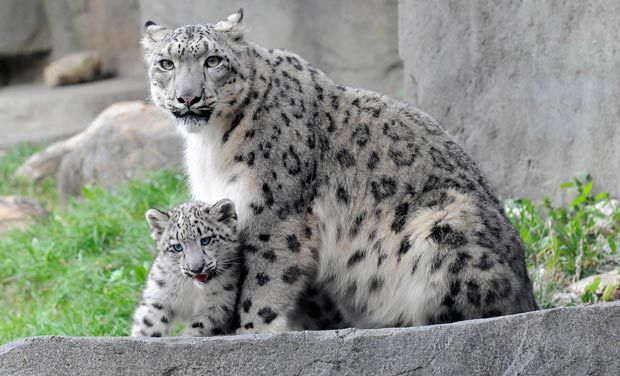 Brookfield_Zoo_Snow_Leopard__systems@deccanmail