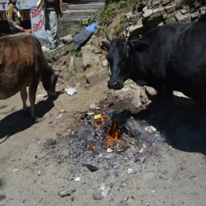 stray-cows-in-shimla