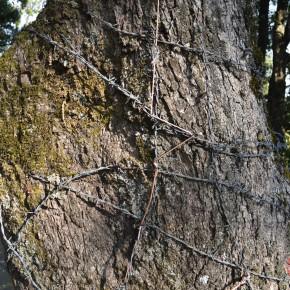 tree abuse in shimla