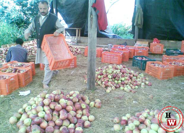 2084 MT apples procured under MIS