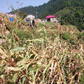 storm-in-himachal-crops distroyed