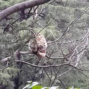 snow-leopard-himachal