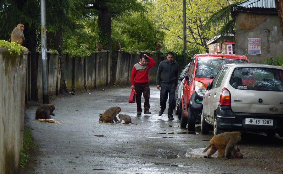 monkey-attack-in-shimla