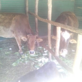 Stray cow shelter manali