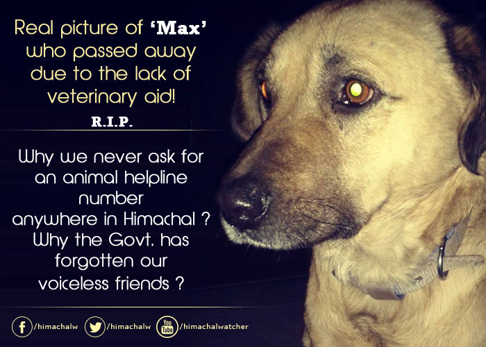 rip-max-Shimla in dire need of animal hospitals and veterinary services