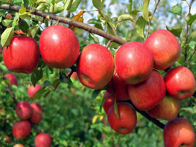 Apple cultivation on encroached forest land