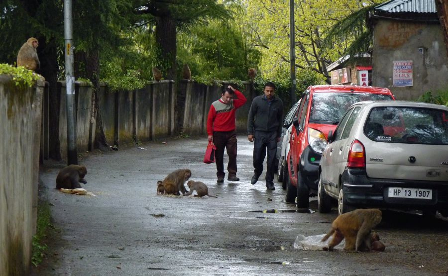 monkey-attack-in-shimla