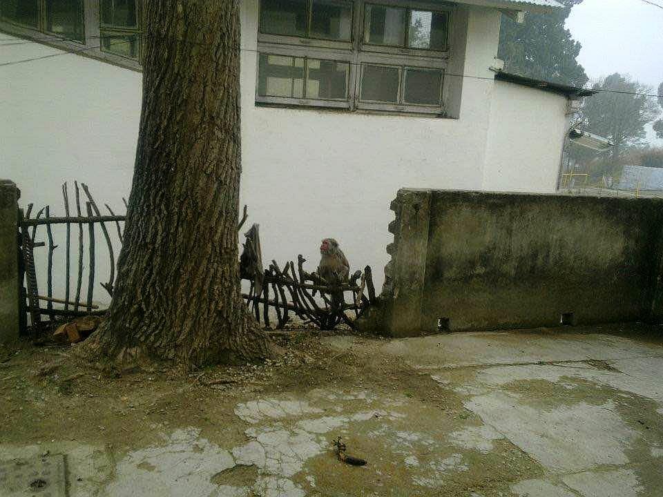 Delhi monkey menace