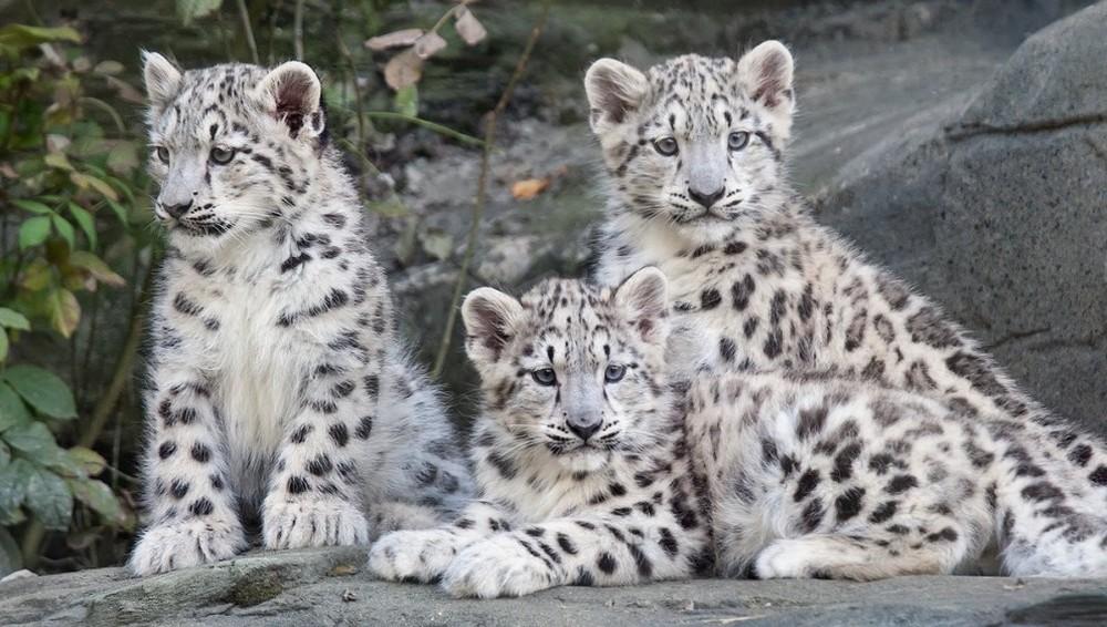 Himachal Snow Leopard