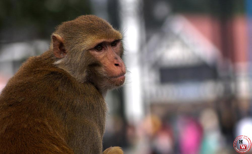 Monkey Culling Himachal