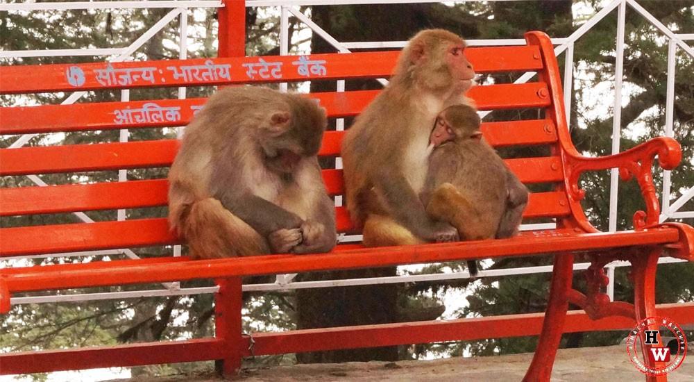 Monkey killing himachal