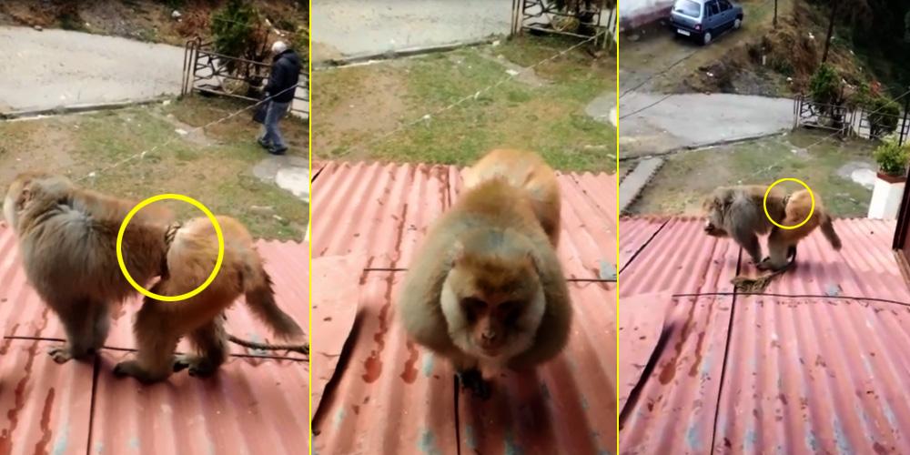 shimla-monkey rescue