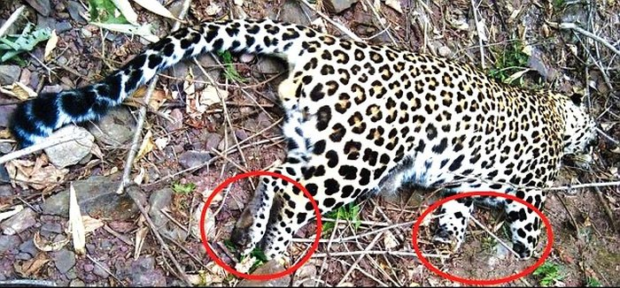 Leopard-killed-in-Nahan-forest