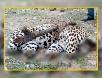 Leopard Poaching in Himachal: Another severely mutilated carcass found in Mandi, 4 cases in 2 months