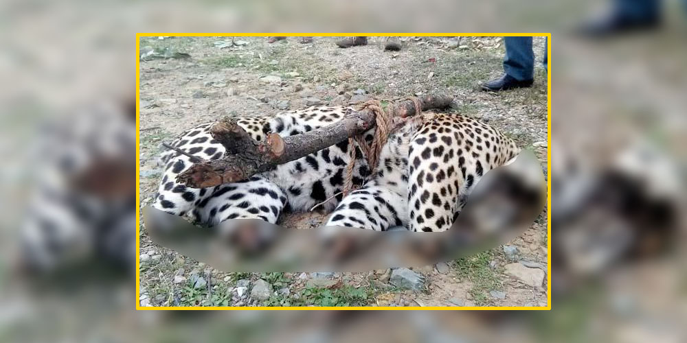Leopard poaching in Himachal Pradesh
