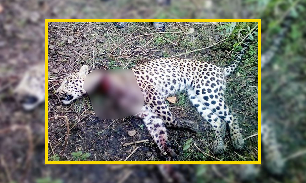trap kills Leopard killed in kangra