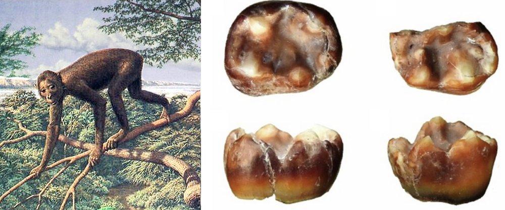 Fossils of pliopithecoid from Haritalyangar India