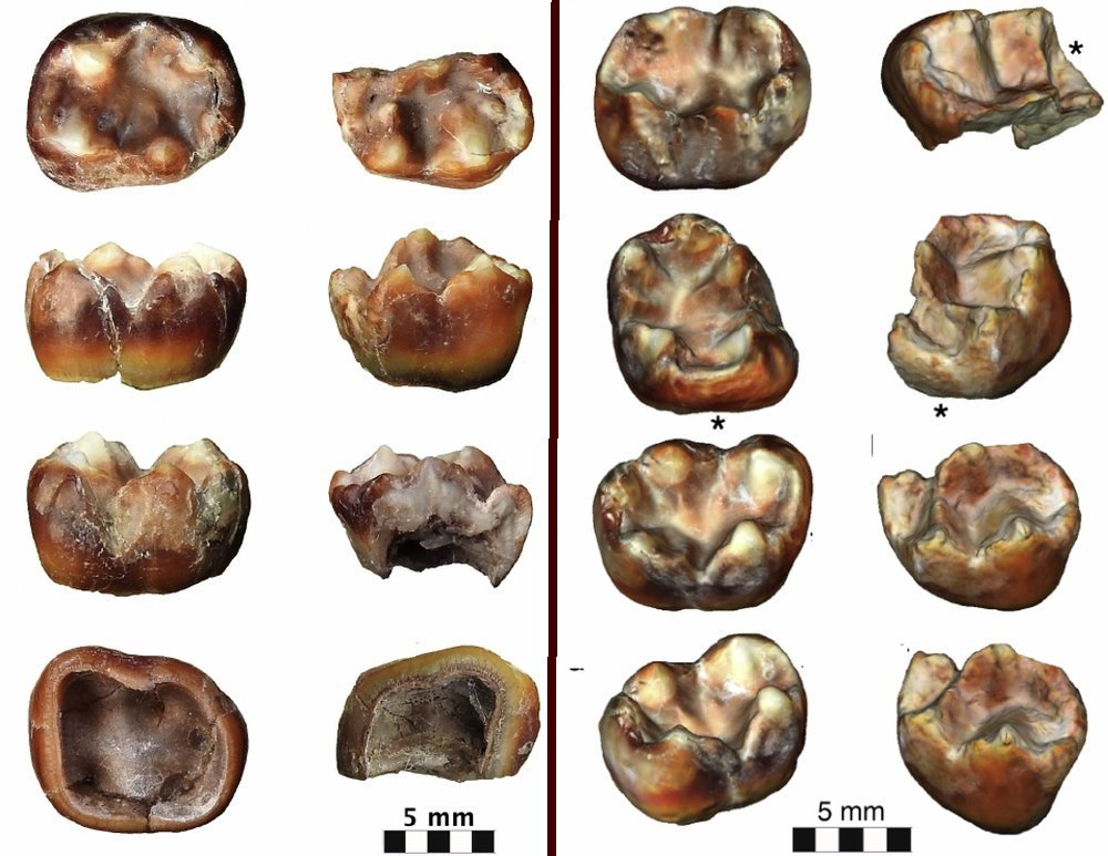 Molar teeth fossils of Krishnapithecus in Bilaspur India