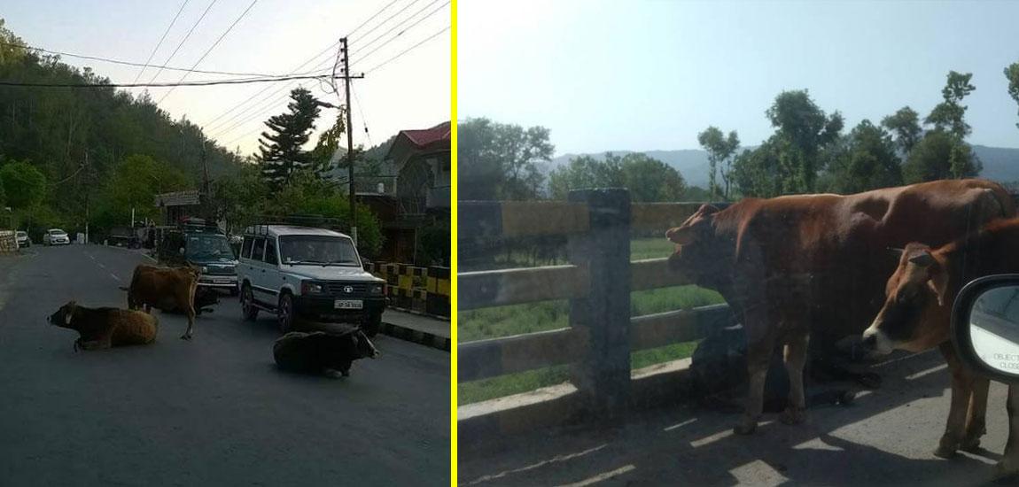 Stray cattle on Himachal Pradesh Roads