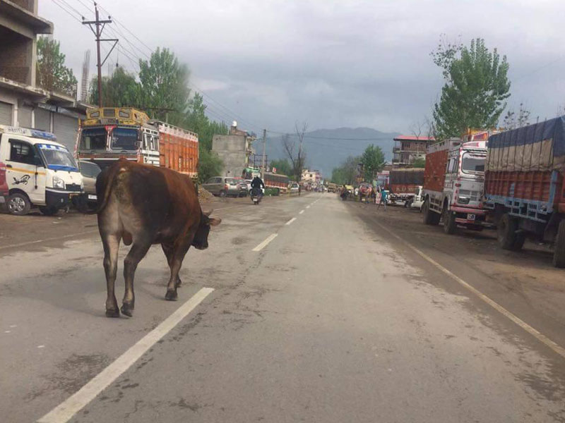 Stray Cow on Himachal Roads
