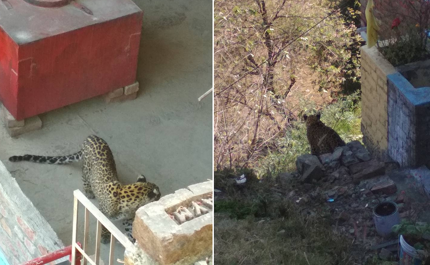 Watch: An interesting case of leopard sighting in Shimla's Dhanda locality