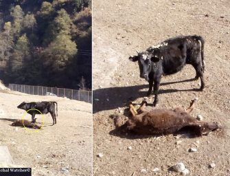 Distubing scene at Manali cow-shelter shows failure of Govt's stray cattle policy