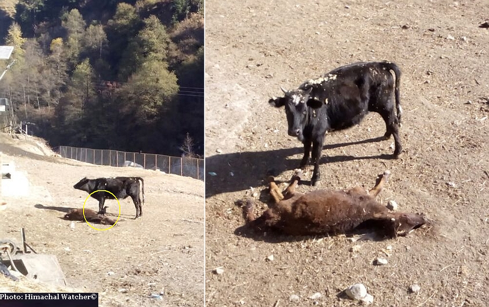 Manali Cow Shelter in Himachal Pradesh