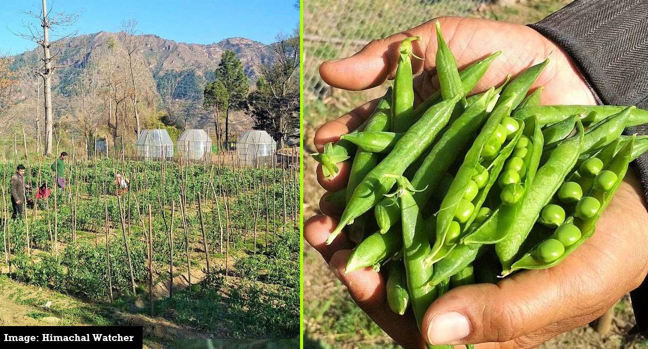 zero-budget-farming-nauni-solan