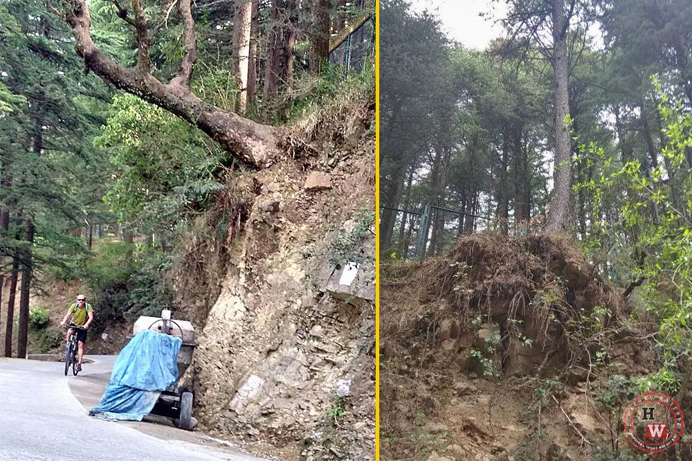 Ilegal tree felling in Dharamshala town 5