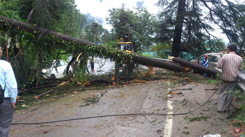 Heavy rain uproots trees in Shimla