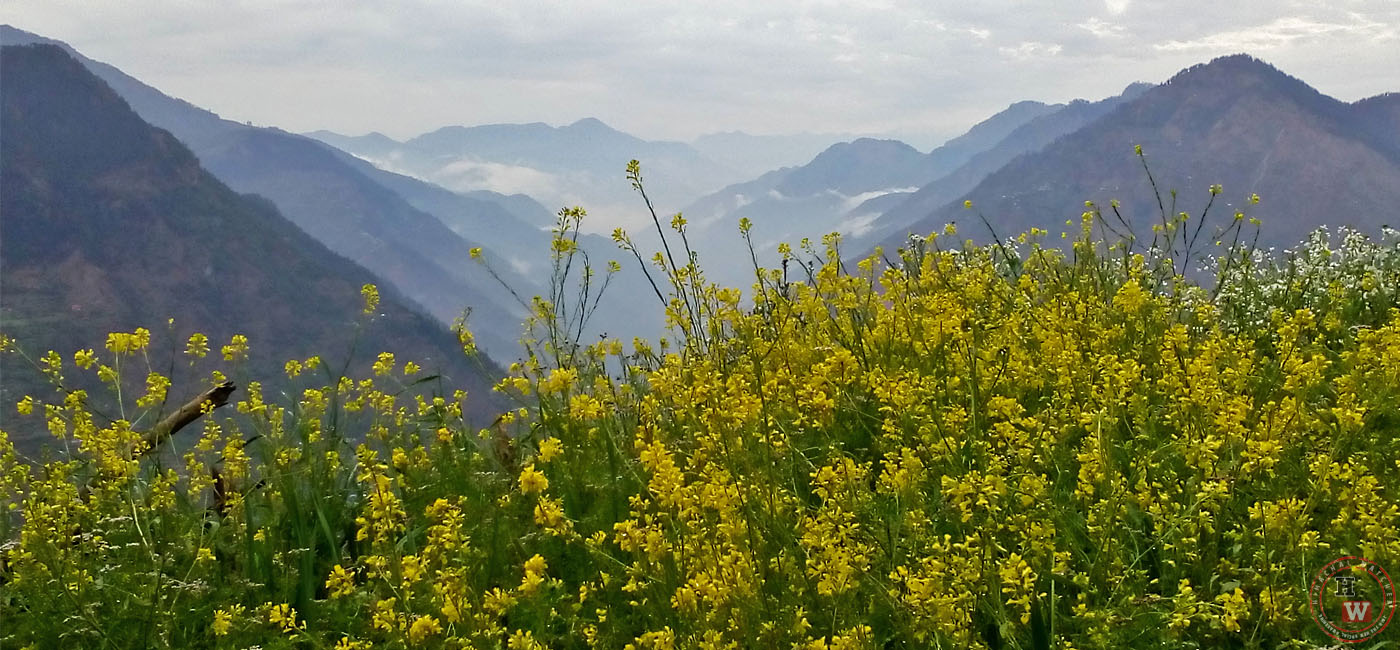 Farming of Mustard Oil in Himachal Pradesh