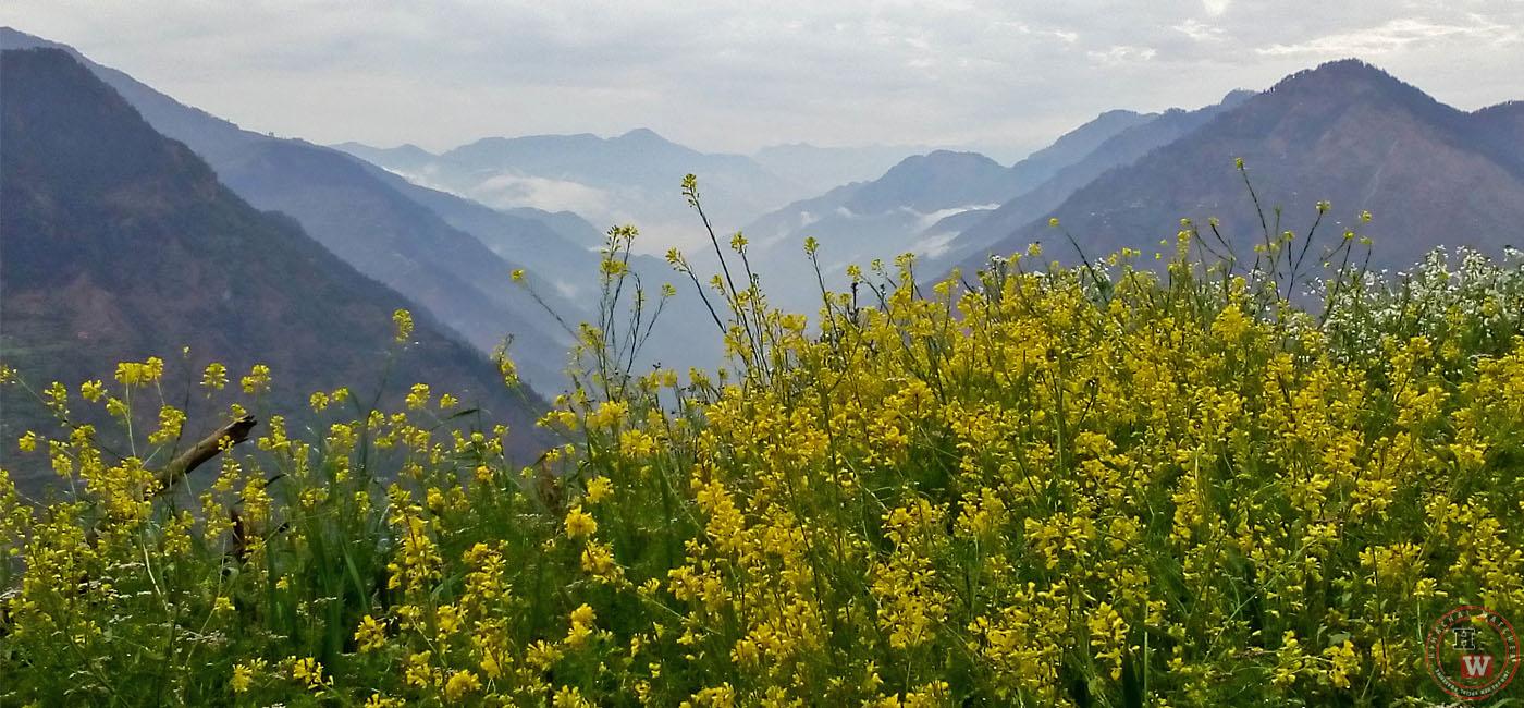 Farming of Mustard Oil in Himachal Pradesh