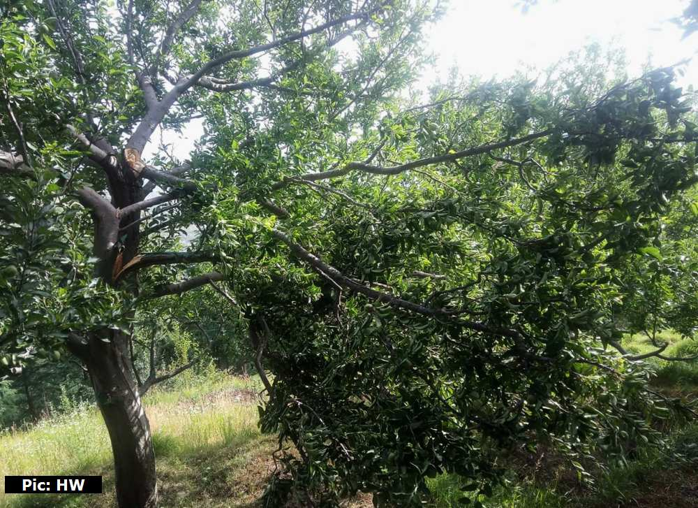 Apple trees damaged in himachal