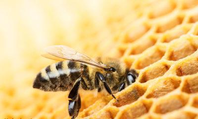 Bumblebee Rearing in Himachal Pradesh