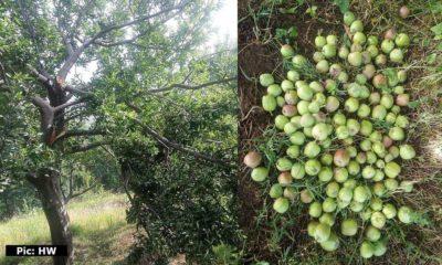 Crops destroyed in Himachal pradesh, farmers seek compensation
