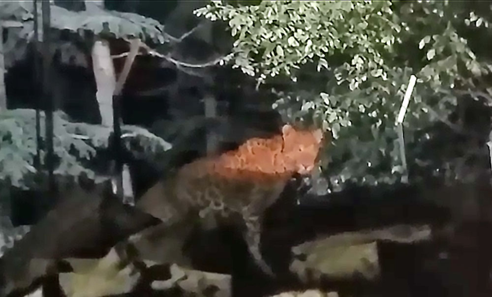Leopard sighting in Shimla city