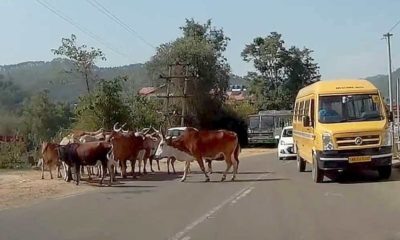Stray Cattle in Himachal Pradesh