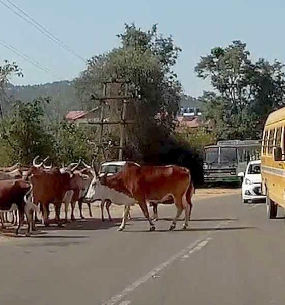 Stray Cattle in Himachal Pradesh