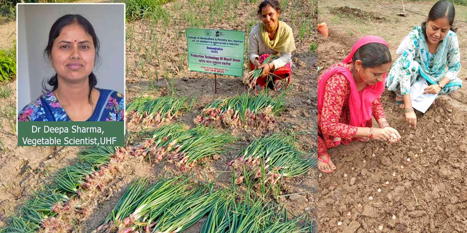 kharif onion in himachal by Dr Deepa Sharma, Vegetable Scientist