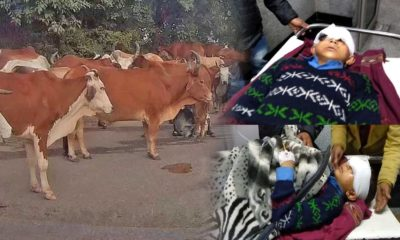 Stray Cattle attacks in Himachal Pradesh 2