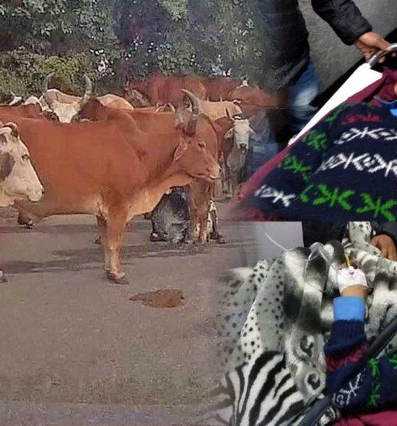 Stray Cattle attacks in Himachal Pradesh 2