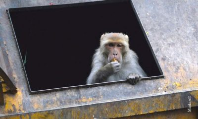 Monkey Sterlization in Himachal Pradesh